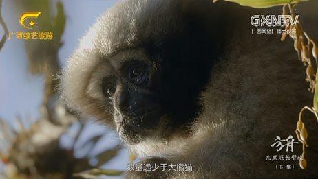 中国野外可以找到4种长臂猿,所有数量加一起远少于大熊猫的数量
