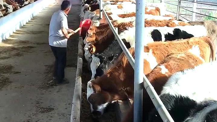 豆饼喂牛需要注意哪些?听听养牛大哥怎么说,方法真不赖