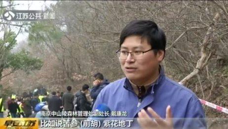 """南京:守护紫金山 我们在行动——400位志愿者扛土上山修复""""太子峰"""""""