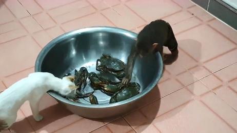 猴子和猫咪趁主人不在家,捉弄起螃蟹,接下来大家忍住别笑!