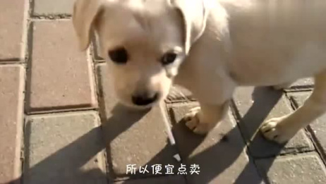 300块网购一条拉布拉多,一个星期后,狗狗开始上吐下泻...