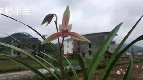 湖南连续下雨,爬不了山带朋友在家赏花,兰花好漂亮