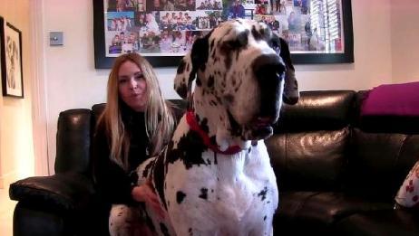 世上最大的狗,年花销过百万,女主人每天精心照顾
