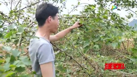 农村小伙自己种植的桑果树桑果太多了,都掉落在地上好多了