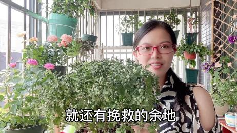 """新买的菊花苗叶子干枯缺水怎么办?一个塑料袋""""起死回生"""""""