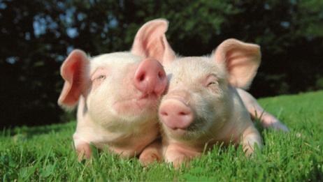 猪价出现新一轮的上涨!啥时候买肉合适?能少花冤枉钱!