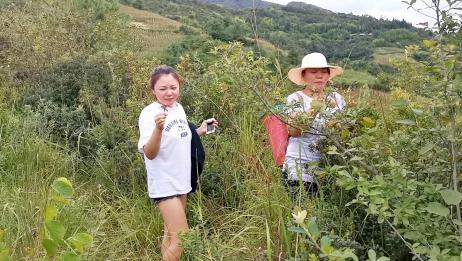 美女粉丝到云南大山里摘野果,野地瓜、野榛子、老米珠遍地都是