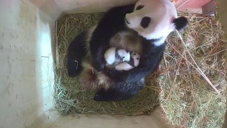 大熊猫生了一对双胞胎,整天陪伴宝宝们长大,真是太尽职了
