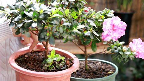 杜鹃花侧芽摘除后,这种肥喂一喂,容易长出花苞花朵