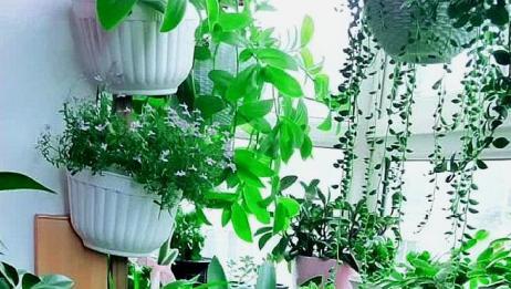老妈设计的阳台小花园,全是绿色植物,看着可真美!