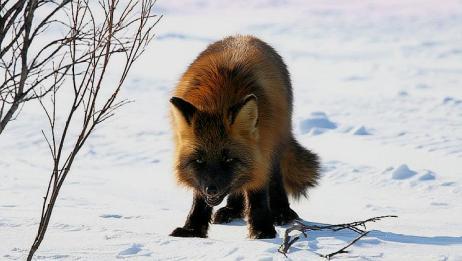 狐狸的捕食动作,把我笑晕了!