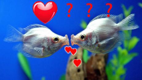 接吻鱼一碰面就亲嘴?是因为爱情吗?你可能想多了