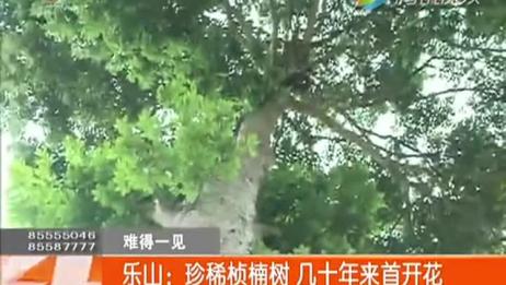 稀奇 乐山珍稀桢楠树 几十年来首开花