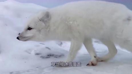 狐狸的雪地捕猎模式,高难度捕猎动作,一击必杀