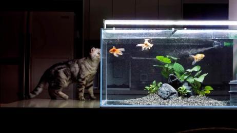 猫咪对金鱼垂涎三尺,却无计可施,猫咪:不给鱼肉,喝口汤总行吧