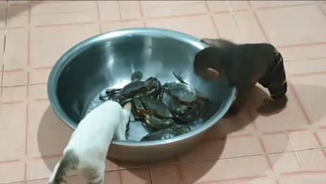 猴子和猫咪趁主人不在家,对螃蟹下起了黑手,镜头记录搞笑画面