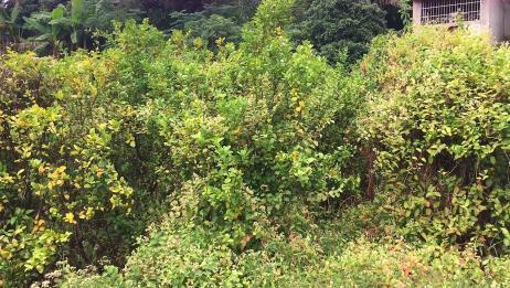广西砂糖橘普遍生了黄龙病,这种病没药救,农民损失惨重