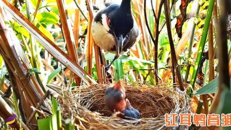 令人敬佩的鸟妈妈,每天找来各种食物喂幼鸟,只为孩子们健康成长