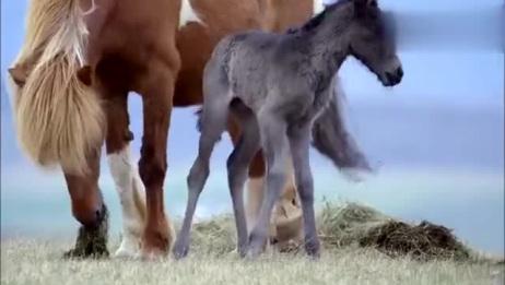 刚出生的小马驹,呆呆的样子不是一般的可爱