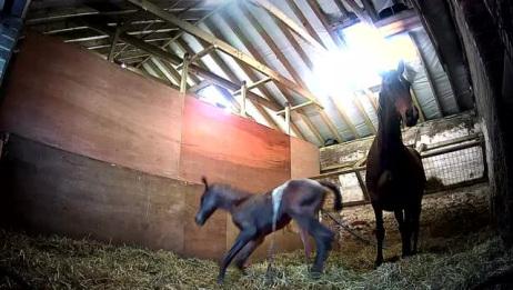 才出生的小马驹