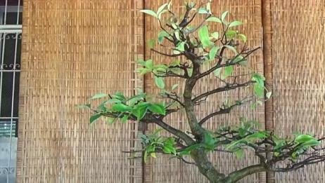 树桩居然被爷爷修剪的这么有层次感,你可以吗?