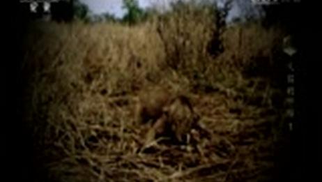 [大猫的终结 第一集]20世纪90年代狩猎狮子的风潮