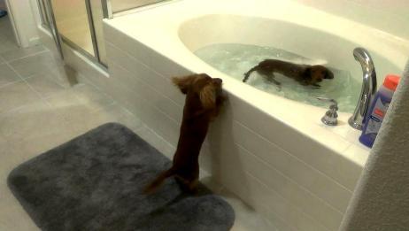 两只狗狗在外面玩得脏兮兮,趁主人在睡觉,自己跑到浴缸中洗澡!