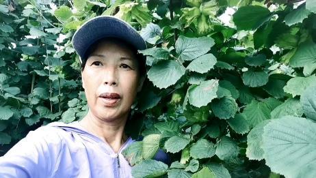 威海种植的大榛子成熟了,来看看新鲜青皮榛子怎么吃