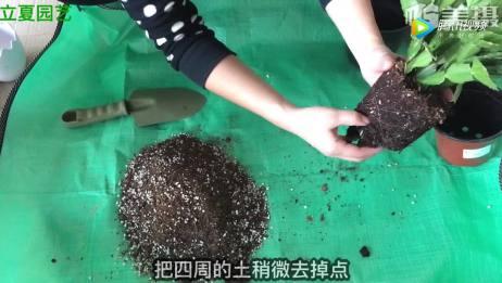蟹爪兰怎么养?盆土没有用对,怎么养都是死!