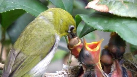 鸟妈妈带来的食物,咬住了幼鸟的脖子,原谅我不厚道的笑了
