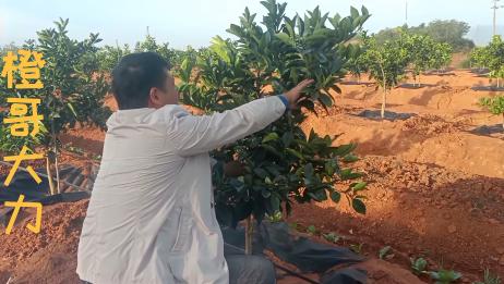 试挂果树花芽分化期间,控水控肥除内堂强梢,保持自然花芽分化状