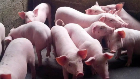 猪价涨跌互现,生猪供给缓解,猪价到底能不能跌