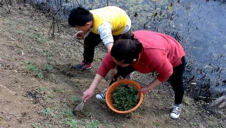 农村常见的野菜七七芽,能吃能止血,焯水后凉拌好吃又营养