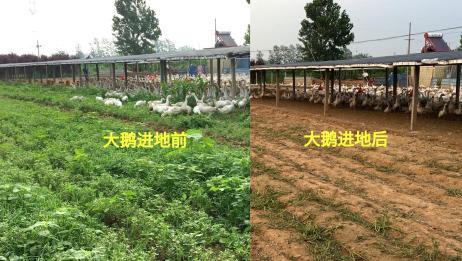 农村涛子真有办法,大鹅啃食+电动除草机,这种除草方法你见过吗