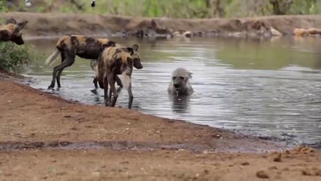 鬣狗被一群野狗疯狂掏肛,为了活命躲进水里,下场非常的凄凉!