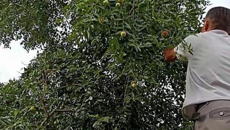 跟着家人来采冬枣,满树挂满了红通通的枣子,真的是好漂亮啊