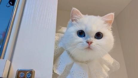 小奶猫一双蓝宝石大眼睛,自带公主气息,真是太美了!