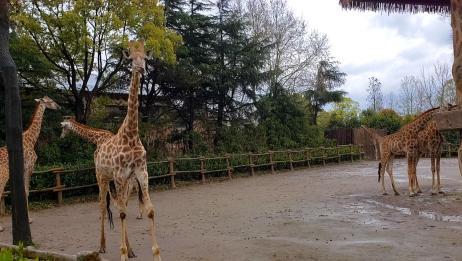 疫情下的动物们,没人看望好可怜,不花钱带你逛上海野生动物园