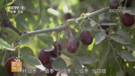 美丽中国乡村行:第一次见,原来在新疆是这样摘枣的,太棒了!