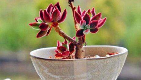 多肉植物锦晃星上盆效果,春季的邳州桃花岛公园,春色满园关不住