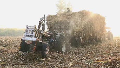 印度甘蔗产量可真不少,前面拉后面推,这样的运输方式把我看傻了