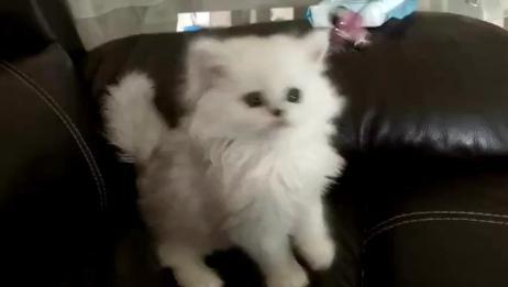 金吉拉(✖╹◡╹✖)♡玩猫丧志 吸猫 我和宠物的日常 我家宠物最萌的瞬间