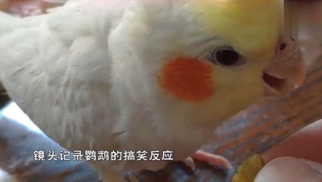 鹦鹉吃葡萄,它的搞笑反应,一定要憋住笑