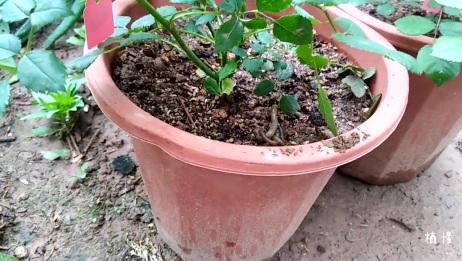 捉两条蚯蚓放在月季花盆里,希望能开出更多的月季花!