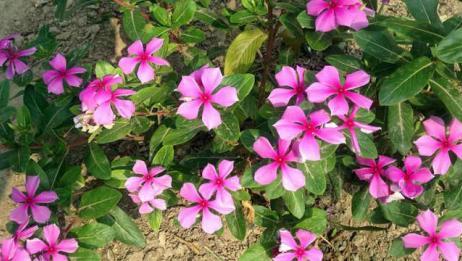 这种花那么好看很少人敢种在家里?