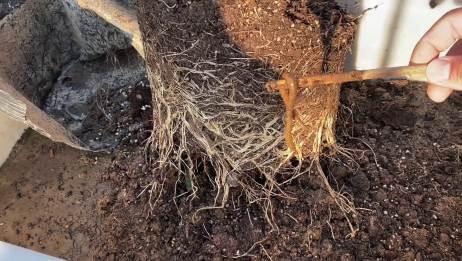 盆栽月季根系发达,换盆时翻出一条肥硕的蚯蚓,是不是它的功劳?