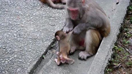 网上这只猴子火了!独自带崽不容易,喂奶姿势比人类还标准! (2)