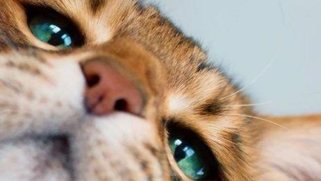 盯:谁说豹猫就有豹脾气?见识过小孟撒娇的人,还没有能站着的!