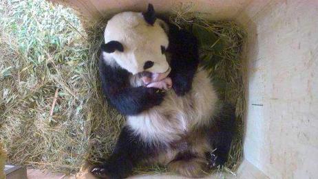 大熊猫真是凭本事当上国宝,生下双胞胎都不知道,镜头拍下全程!