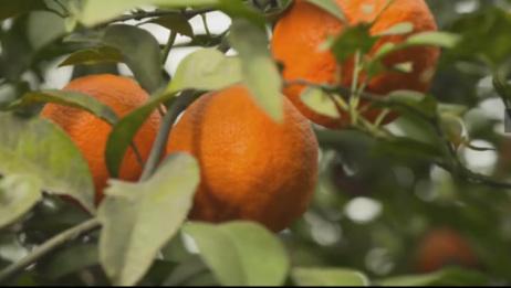 这柠檬长得也太像橘子了吧,莫非是甜的?